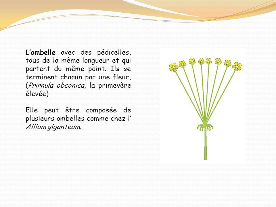 L'ombelle avec des pédicelles, tous de la même longueur et qui partent du même point. Ils se terminent chacun par une fleur, (Prirnula obconica, la primevère élevée)
