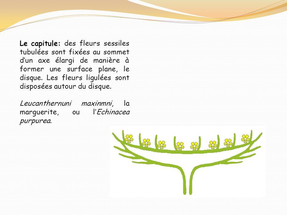 Le capitule: des fleurs sessiles tubulées sont fixées au sommet d'un axe élargi de manière à former une surface plane, le disque. Les fleurs ligulées sont disposées autour du disque.