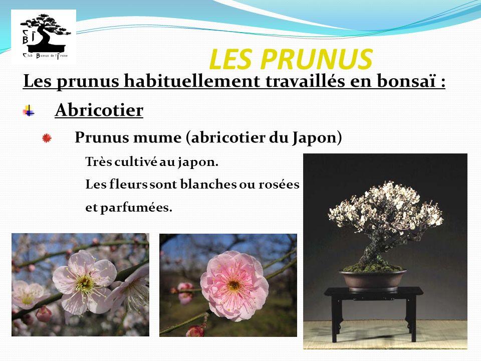 LES PRUNUS Les prunus habituellement travaillés en bonsaï : Abricotier