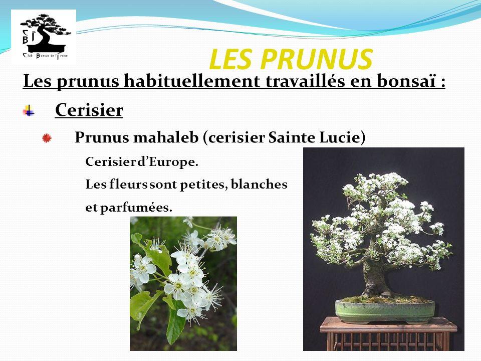 LES PRUNUS Les prunus habituellement travaillés en bonsaï : Cerisier