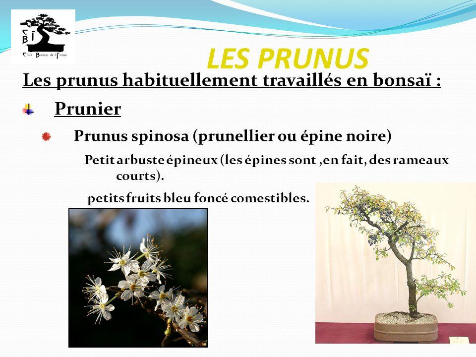 LES PRUNUS Les prunus habituellement travaillés en bonsaï : Prunier