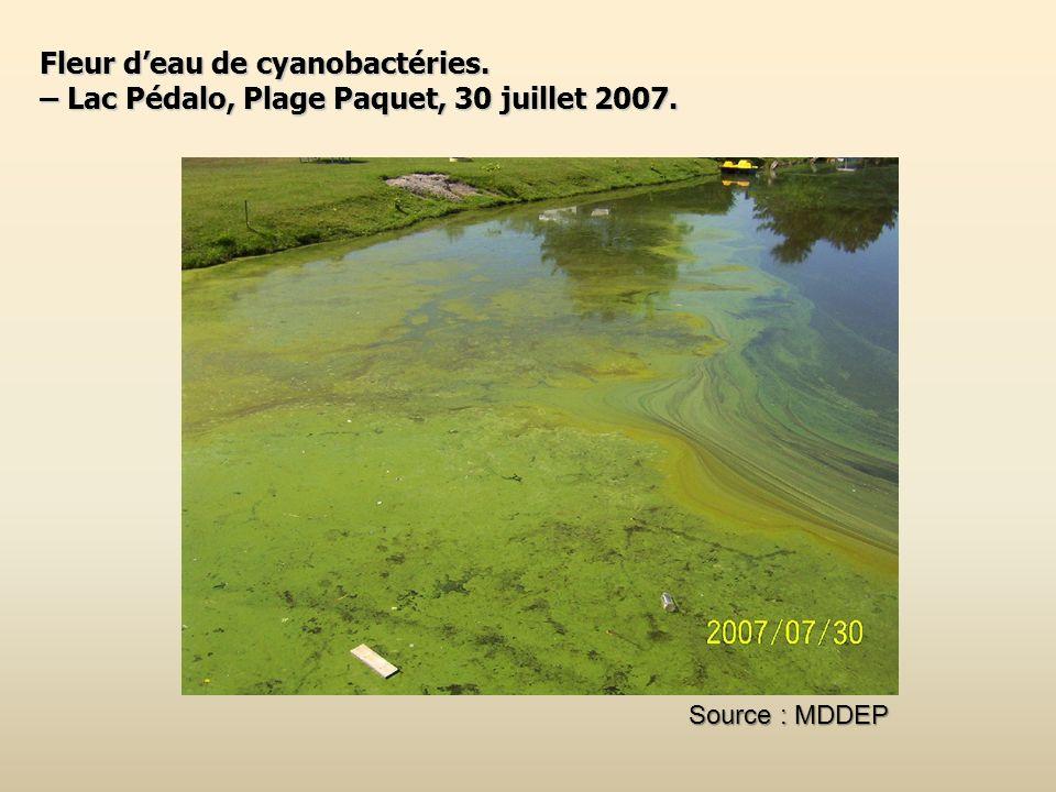 Fleur d'eau de cyanobactéries.