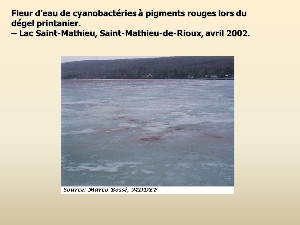 Fleur d'eau de cyanobactéries à pigments rouges lors du dégel printanier.