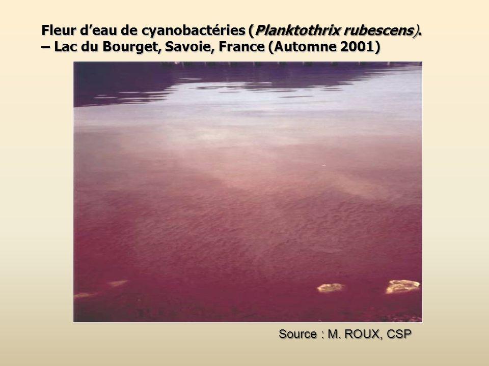 Fleur d'eau de cyanobactéries (Planktothrix rubescens).
