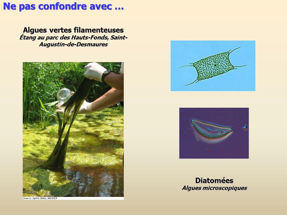 Ne pas confondre avec … Algues vertes filamenteuses Diatomées