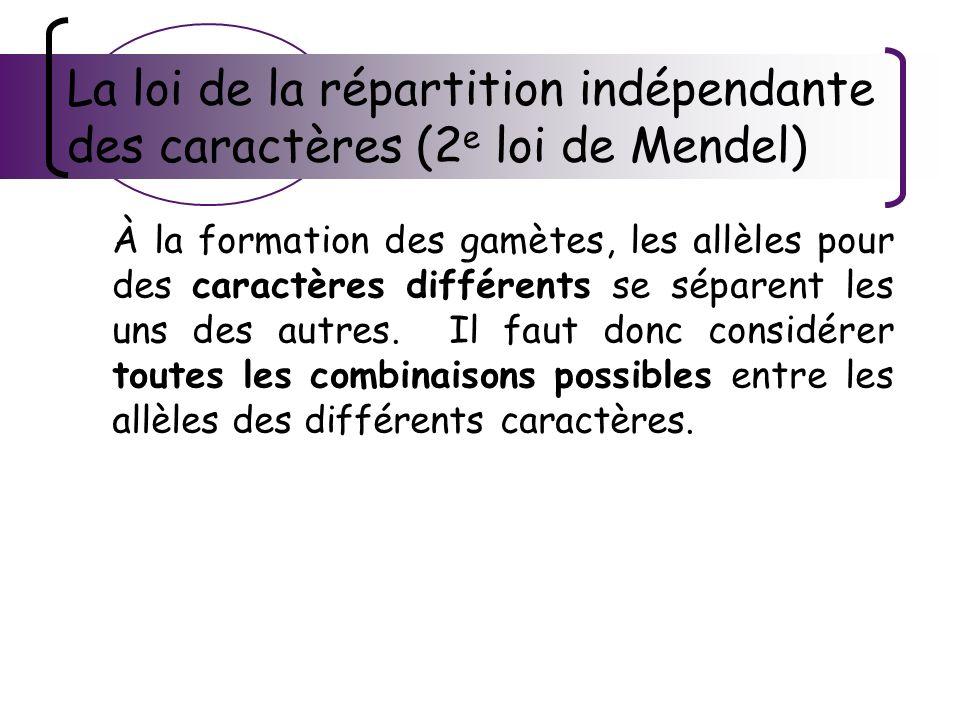 La loi de la répartition indépendante des caractères (2e loi de Mendel)