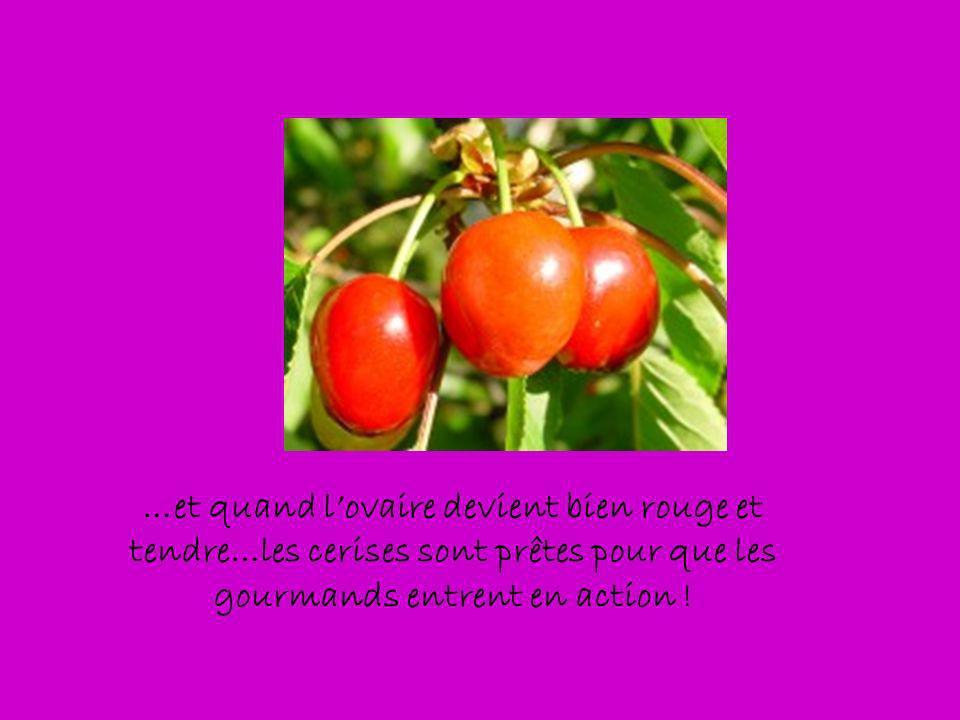 …et quand l'ovaire devient bien rouge et tendre…les cerises sont prêtes pour que les gourmands entrent en action !