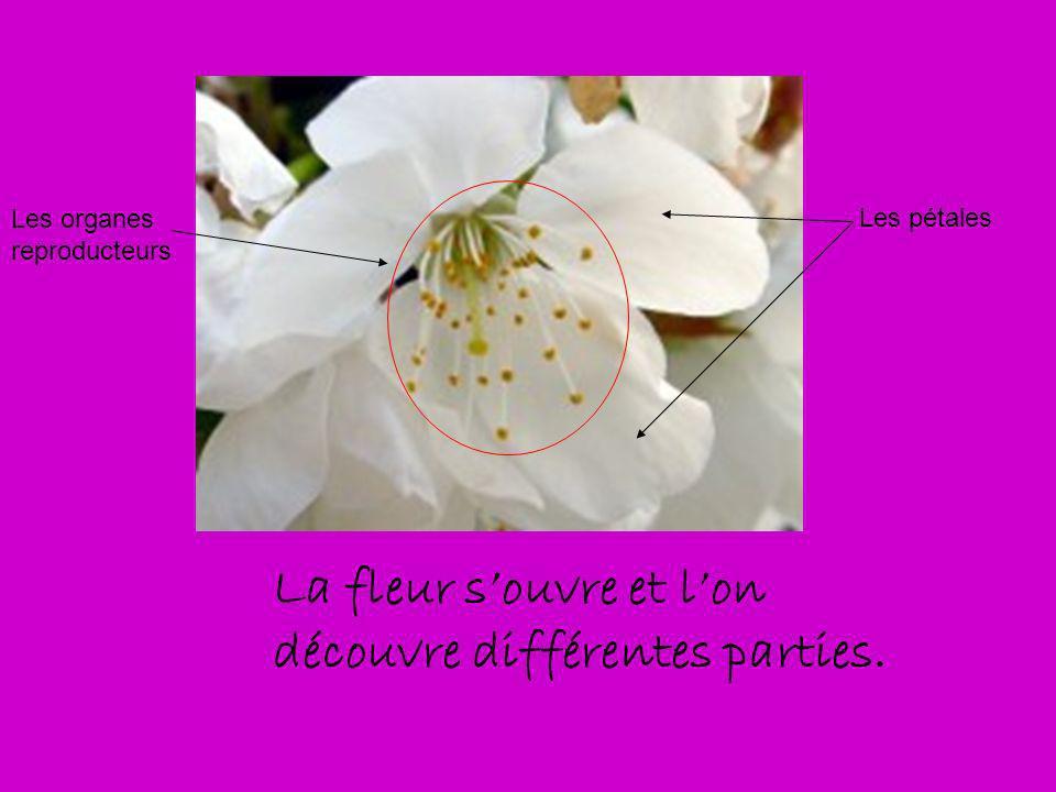 La fleur s'ouvre et l'on découvre différentes parties.