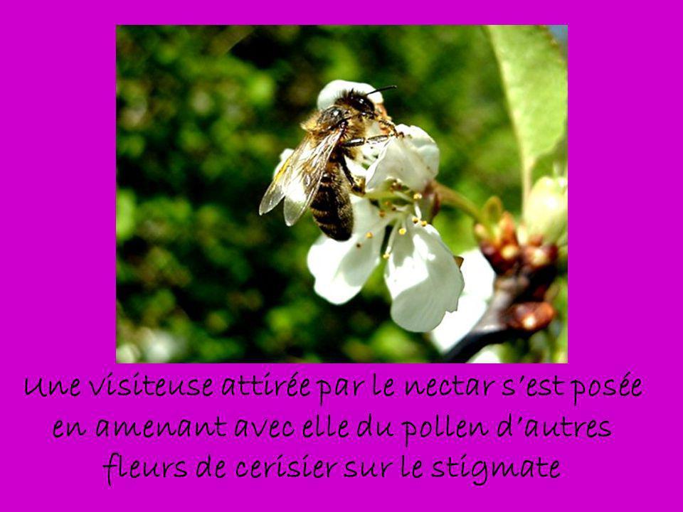 Une visiteuse attirée par le nectar s'est posée en amenant avec elle du pollen d'autres fleurs de cerisier sur le stigmate