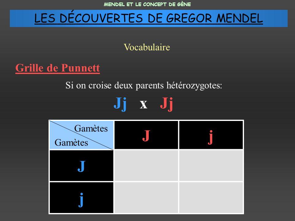 Jj x Jj J j LES DÉCOUVERTES DE GREGOR MENDEL Grille de Punnett
