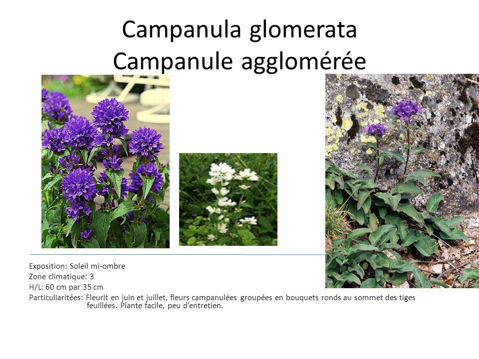 Campanula glomerata Campanule agglomérée