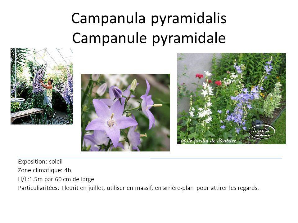 Campanula pyramidalis Campanule pyramidale