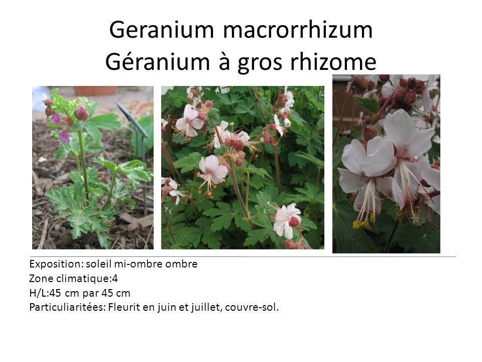 Geranium macrorrhizum Géranium à gros rhizome