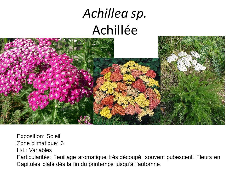 Achillea sp. Achillée Exposition: Soleil Zone climatique: 3