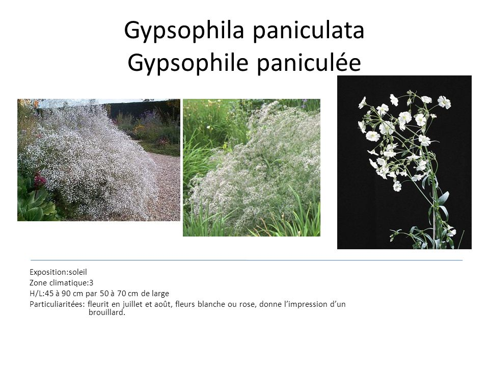 Gypsophila paniculata Gypsophile paniculée