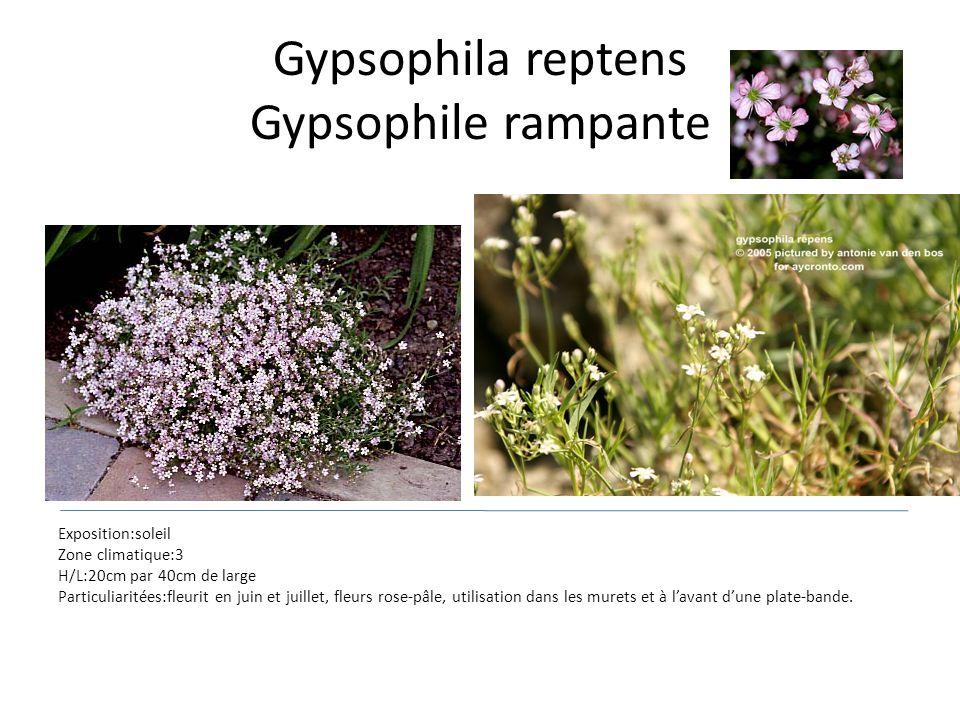 Gypsophila reptens Gypsophile rampante