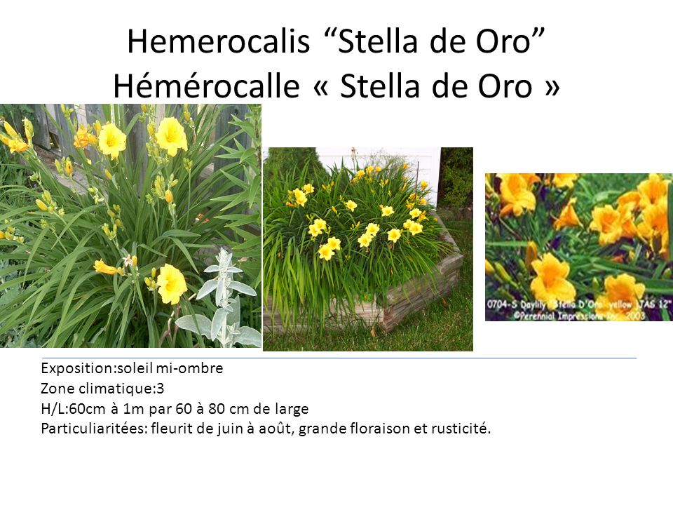 Hemerocalis Stella de Oro Hémérocalle « Stella de Oro »