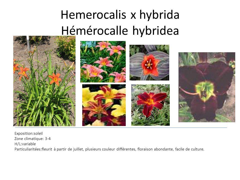 Hemerocalis x hybrida Hémérocalle hybridea