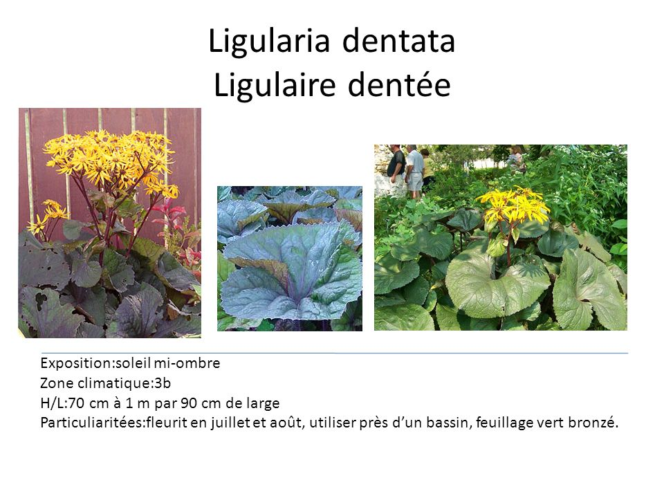 Ligularia dentata Ligulaire dentée