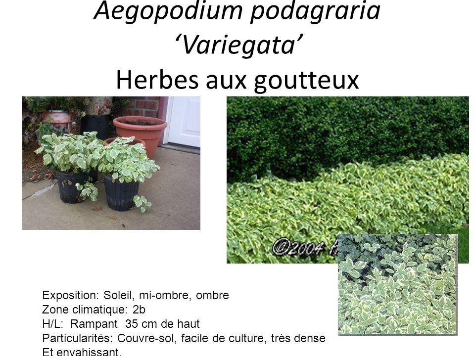 Aegopodium podagraria 'Variegata' Herbes aux goutteux