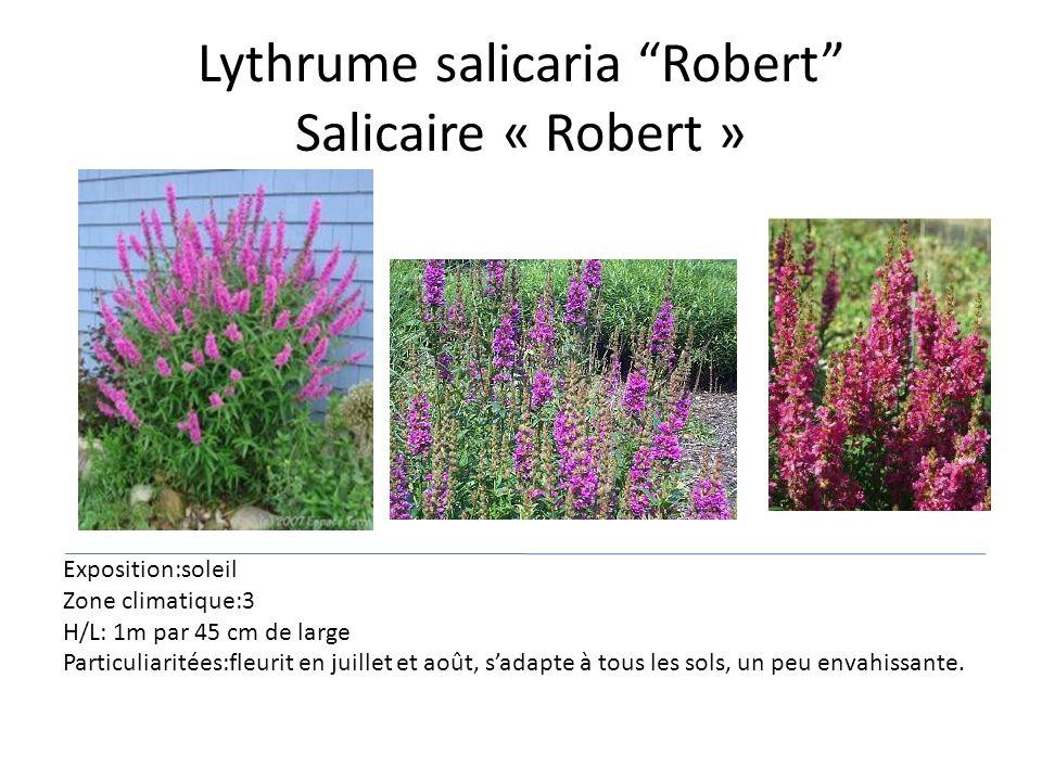 Lythrume salicaria Robert Salicaire « Robert »