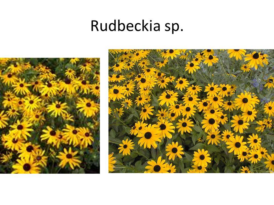 Rudbeckia sp.