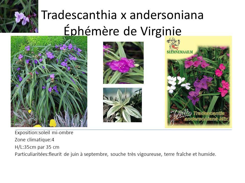 Tradescanthia x andersoniana Éphémère de Virginie