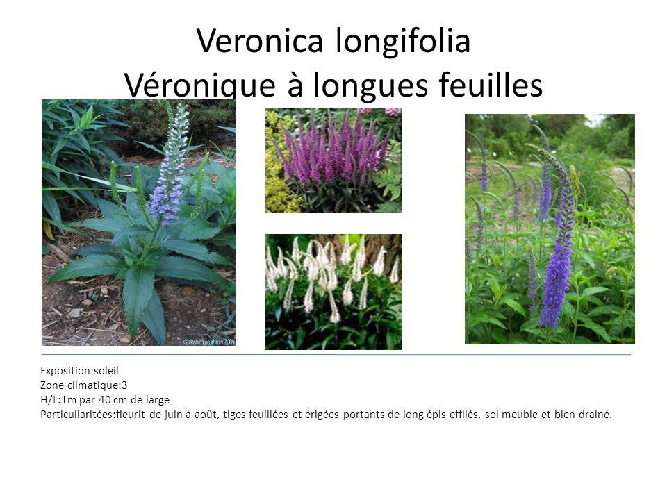Veronica longifolia Véronique à longues feuilles