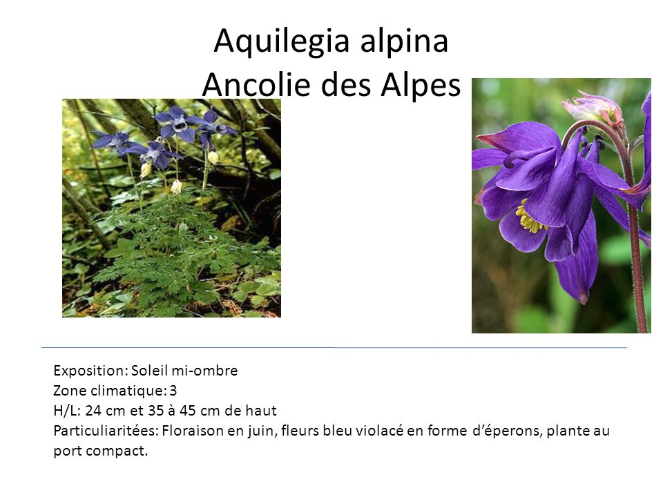 Aquilegia alpina Ancolie des Alpes