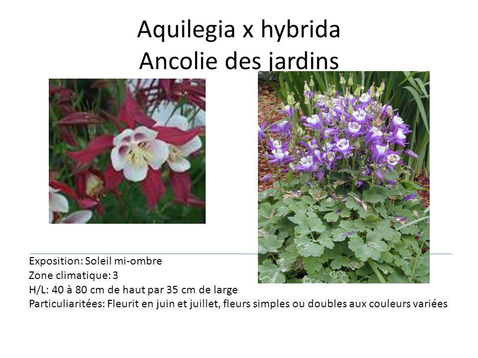 Aquilegia x hybrida Ancolie des jardins