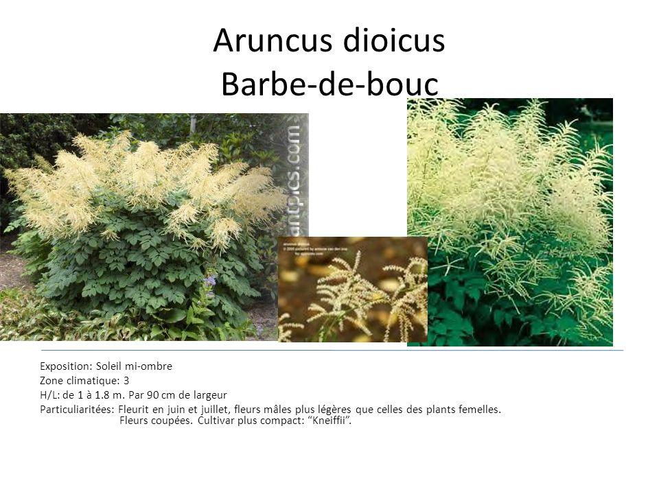 Aruncus dioicus Barbe-de-bouc