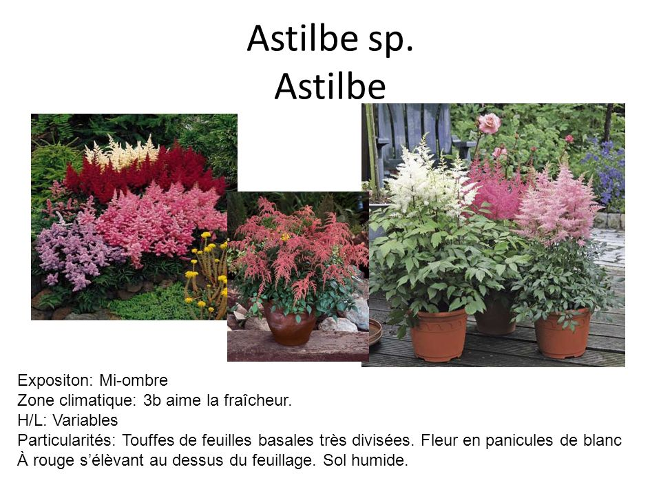 Astilbe sp. Astilbe Expositon: Mi-ombre