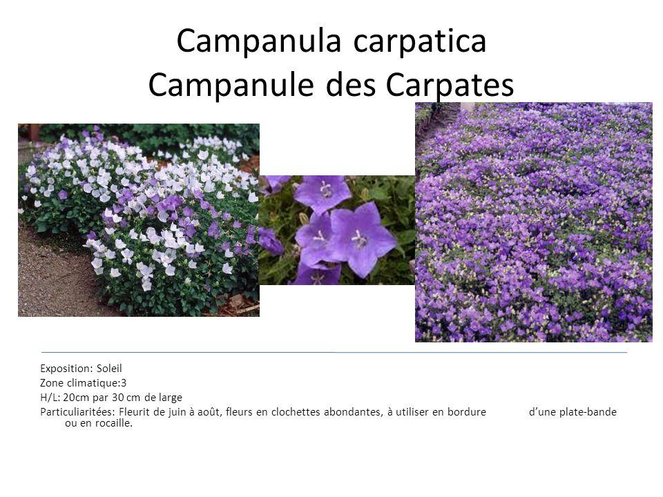 Campanula carpatica Campanule des Carpates