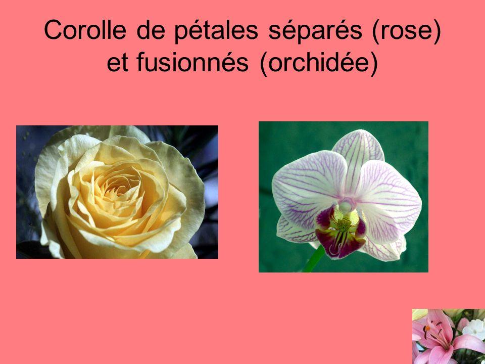 Corolle de pétales séparés (rose) et fusionnés (orchidée)