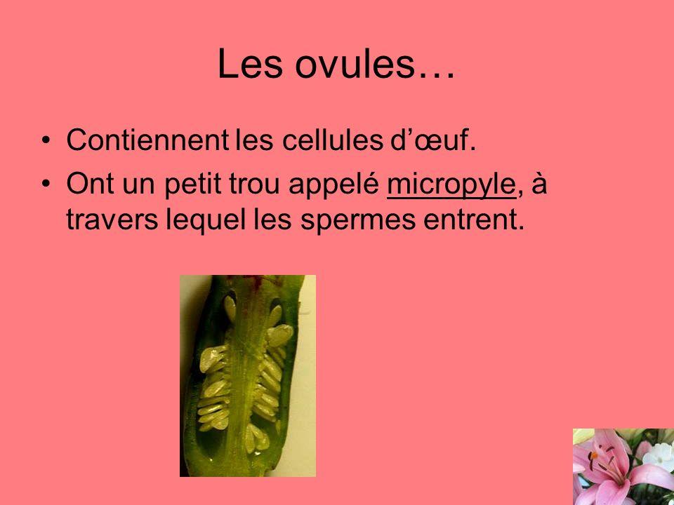 Les ovules… Contiennent les cellules d'œuf.
