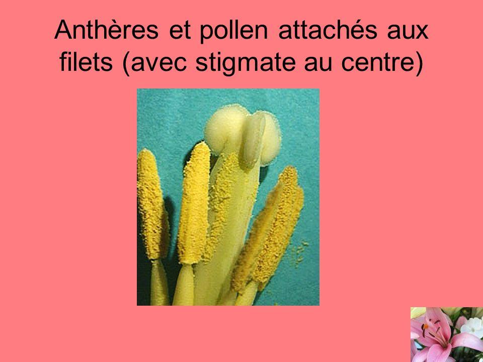 Anthères et pollen attachés aux filets (avec stigmate au centre)