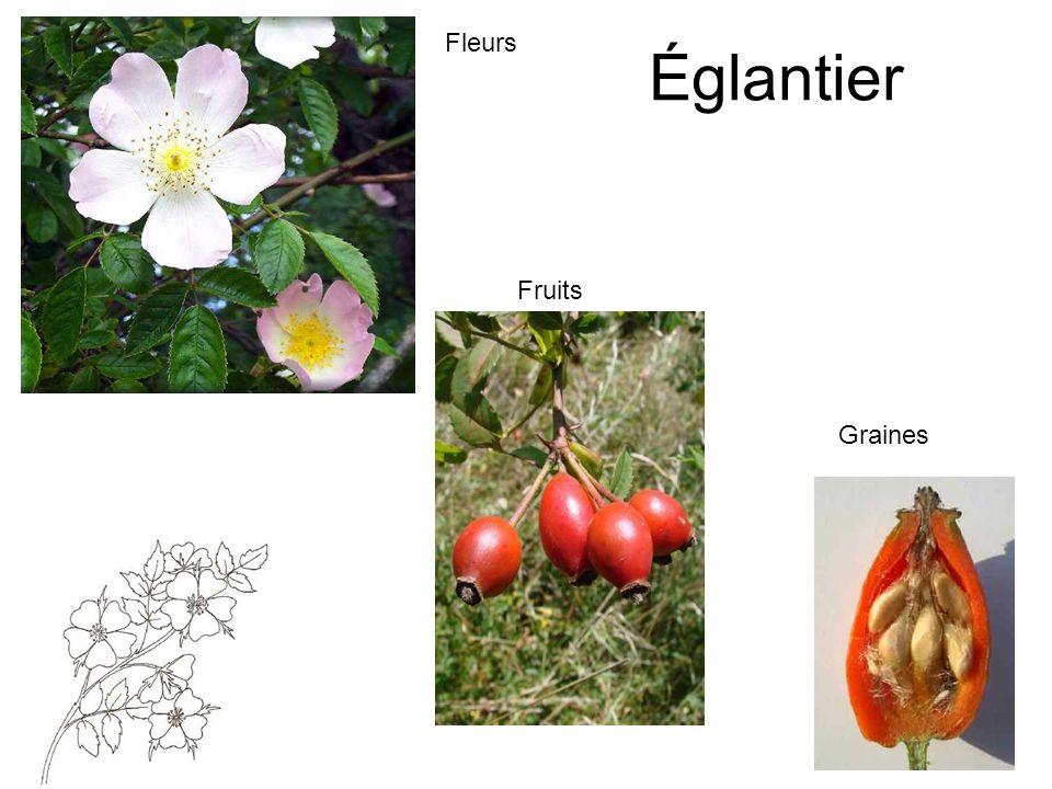 Fleurs Églantier Fruits Graines