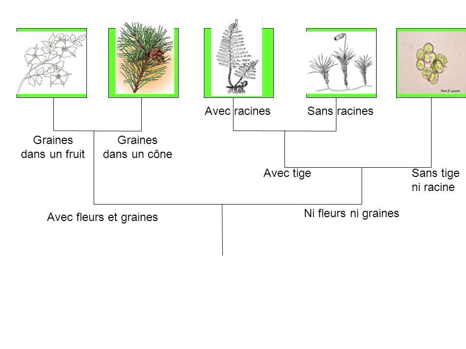 Avec racines Sans racines. Graines dans un fruit. Graines dans un cône. Avec tige. Sans tige ni racine.