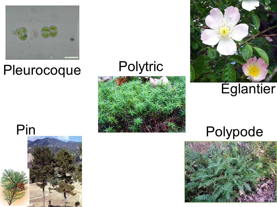 Polytric Pleurocoque Églantier Pin Polypode