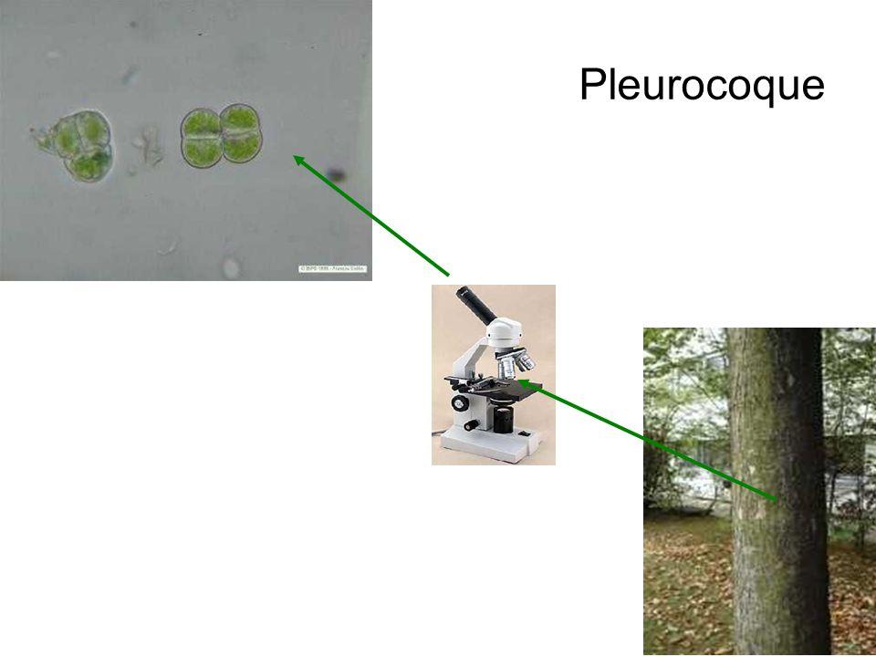 Pleurocoque