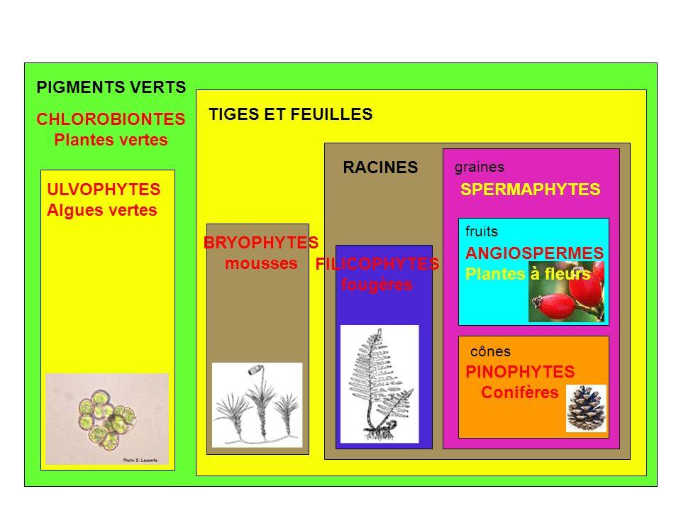 PIGMENTS VERTS TIGES ET FEUILLES CHLOROBIONTES Plantes vertes RACINES