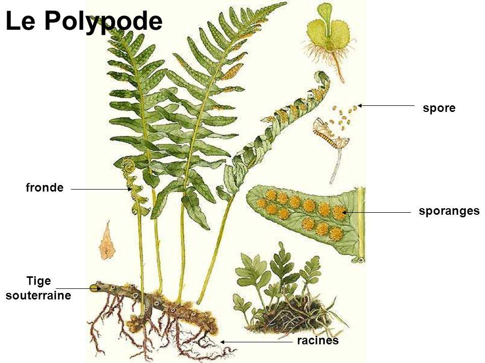Le Polypode spore fronde sporanges Tige souterraine racines