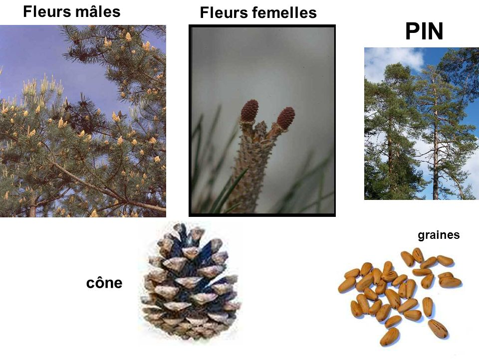 Fleurs mâles Fleurs femelles PIN graines cône
