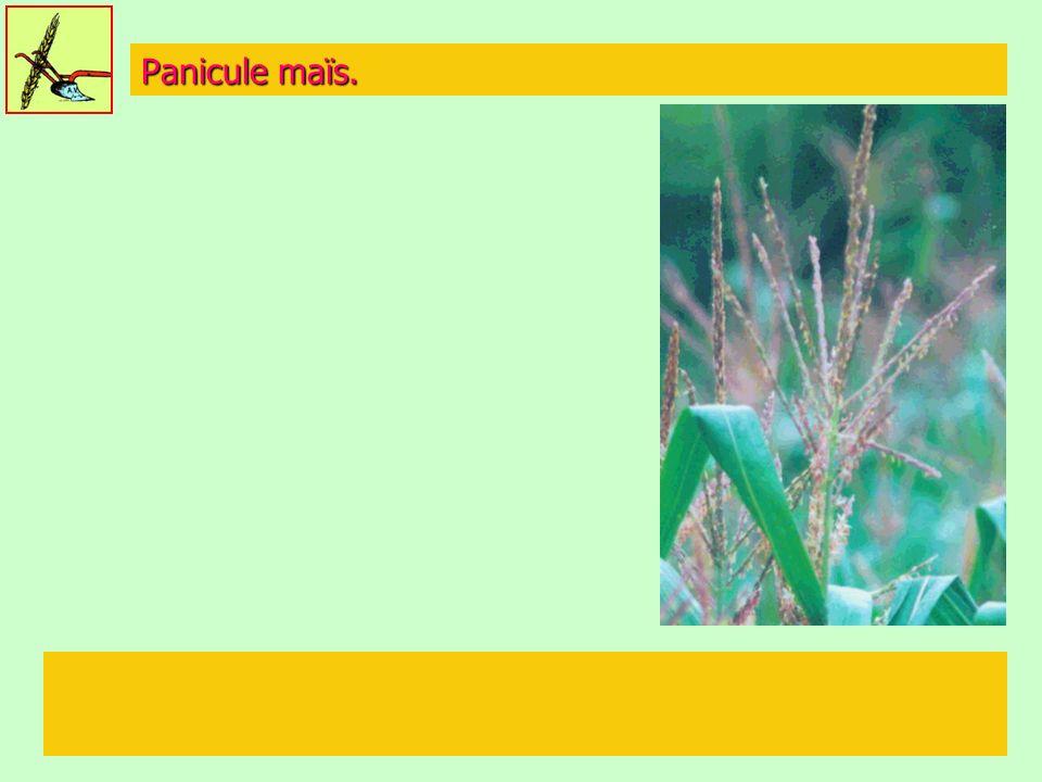 Panicule maïs.