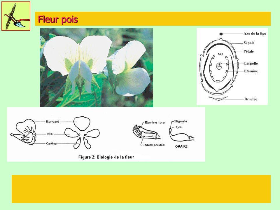 Fleur pois