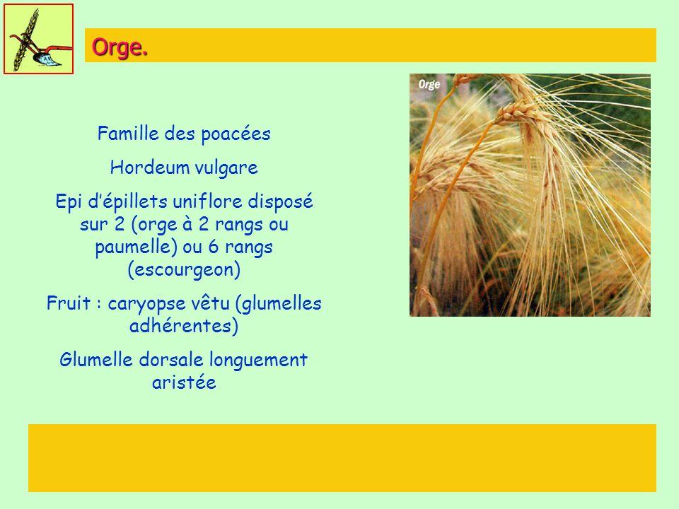 Orge. Famille des poacées Hordeum vulgare