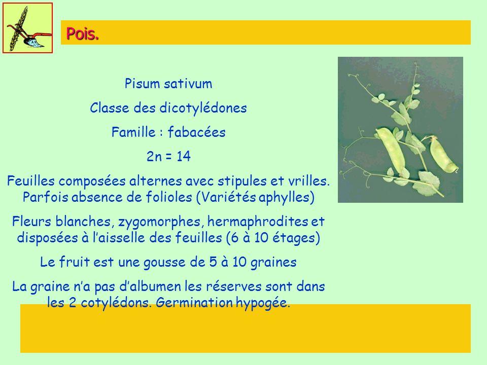 Pois. Pisum sativum Classe des dicotylédones Famille : fabacées