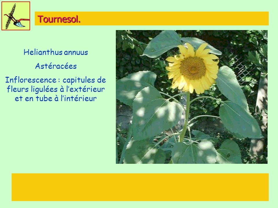 Tournesol. Helianthus annuus Astéracées