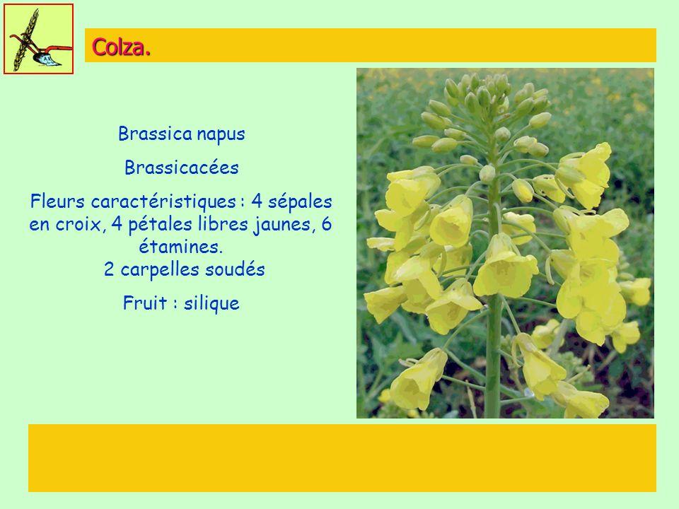 Colza. Brassica napus Brassicacées