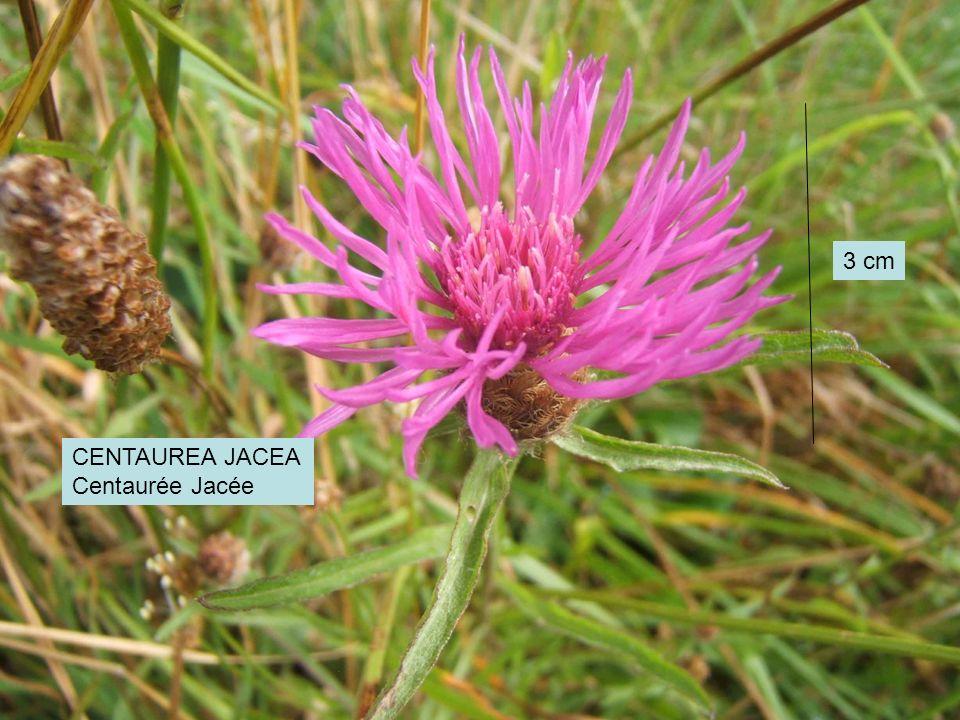 3 cm CENTAUREA JACEA Centaurée Jacée